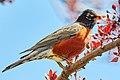 American Robin (210797073).jpeg