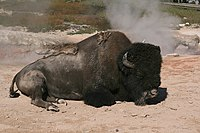 American bison rests at hot spring in yellowstone national park.jpg