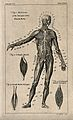 An écorché figure, front view, with right arm raised, and th Wellcome V0008428EL.jpg