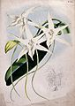 An orchid (Angraecum sesquipedale Thouars); flowers, a leaf Wellcome V0043097.jpg