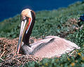 Anacapa-California-Brown-Pelican.jpg