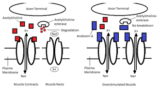 Anatoxin-a - The effects of anatoxin-a on nicotinic acetylcholine receptors at the neuromuscular junction