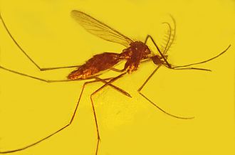 Culicinae - Culicine mosquito in 15 million year old amber