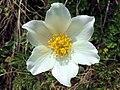 Anemone (Pulsatilla) alpina (35266610606).jpg