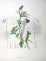 Anemone cernua SZ4.png