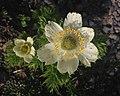 Anemone occidentalis flower (Yarnell).jpg