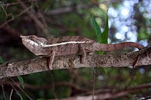 Angel's chameleon (Furcifer angeli).jpg