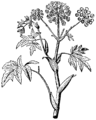 Angelica archangelica, Nordisk familjebok.png