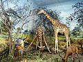 Antelope and giraffe diorama taxidermy Powell-Cotton Museum, Birchington Kent England.jpg