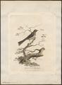 Anthochaera chrysotis - 1789 - Print - Iconographia Zoologica - Special Collections University of Amsterdam - UBA01 IZ19200051.tif