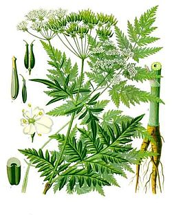 《科勒藥用植物》(1897), Anthriscus sylvestris