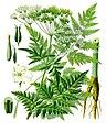 Anthriscus sylvestris - Köhler–s Medizinal-Pflanzen-162.jpg