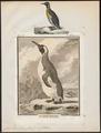 Aptenodytes pennantii - 1700-1880 - Print - Iconographia Zoologica - Special Collections University of Amsterdam - UBA01 IZ17800271.tif