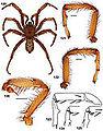 Aptostichus pennjillettei anatomy.jpg