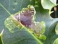 Aquifoliales - Ilex aquifolium - 10.jpg