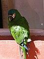 Ara severus -Bolivia -hotel -wing clipped-8a.jpg