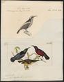Arachnothera hasseltii - 1700-1880 - Print - Iconographia Zoologica - Special Collections University of Amsterdam - UBA01 IZ19000207.tif