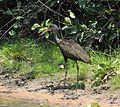 Aramus guarauna guarauna Pantanal.jpg