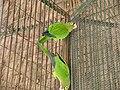 Aratinga canicularis -Mexico.jpg