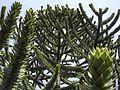 Araucaria araucana (6728157737).jpg