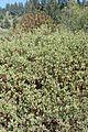 Arctostaphylos bakeri kz4.jpg