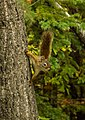 Ardilla roja americana (Tamiasciurus hudsonicus), Palmer, Alaska, Estados Unidos, 2017-08-22, DD 26.jpg