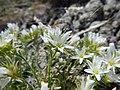 Arenaria hookeri (23731859675).jpg