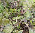Arianta arbustorum golozer.jpg