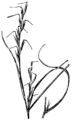 Aristida dichotoma HC-1950.png