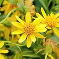 Arnica longifolia-IMG 4674.jpg