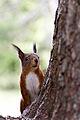 Arosa Eichhörnchen 03.jpg