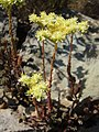 Around Azillanet stonecrop? (998629802).jpg