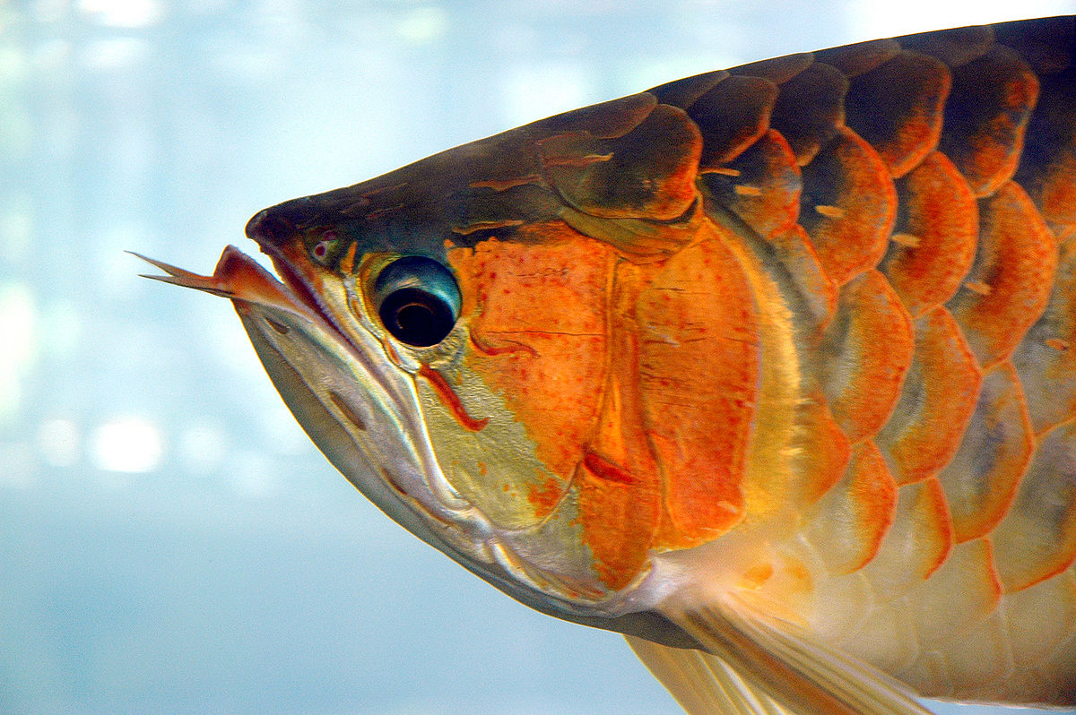 Asian arowana wikipedia for Dragon fish for sale