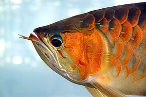 Barbel (anatomy) - This Asian arowana has large, protruding barbels