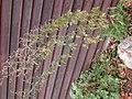 Artemisia absinthium (5018424432).jpg