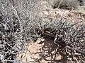 Artemisia bigelovii — Matt Lavin 012.jpg