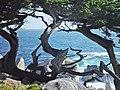 Artsey cypress.jpg