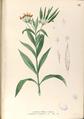 Asclepias curassavica Blanco1.71-original.png