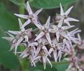 Asclepias speciosa at Peshastin Pinnacles State Park Chelan County Washington 2.png