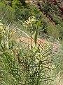 Asclepias subverticillata kz05.jpg
