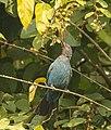 Asian Fairy Bluebird. AMSM2166.jpg
