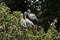 Asian openbill stork (Anastomus oscitans) from Ranganathittu Bird Sanctuary JEG4046.JPG