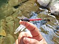 Asiatic Blood Tail Dragonfly.jpg