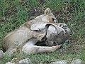 Asiatic Lioness 19.jpg