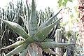 Asparagales - Aloe ferox - 3.jpg