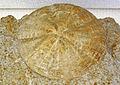 Astrodapsis arnoldi fossil sand dollar (Pliocene; Monterey County, California, USA) (17204442820).jpg
