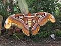 Attacus atlas - Atlas moth at Peravoor 2017 (10).jpg