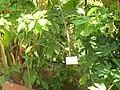 Aucuba japonica 2.JPG