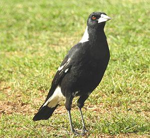 Artamidae -  The Australian Magpie showing its plumage.