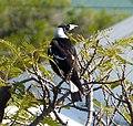 Australian Magpie. Cracticus tibicen - Flickr - gailhampshire (1).jpg